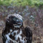 Juvenile Red-tailed Hawk, Harlan's sub-species