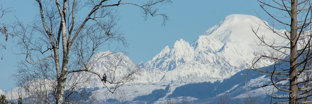 Red-tailed Hawk and Mt. Baker