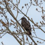 Adult Red-tailed Hawk with Avian Keratin Disorder